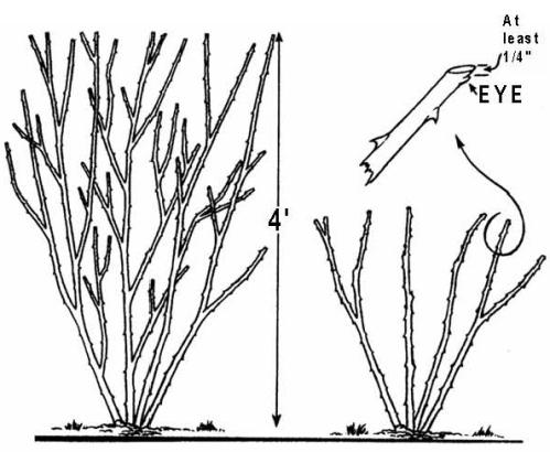 Drawn rose bush shrub Rose For How Shrub shrub