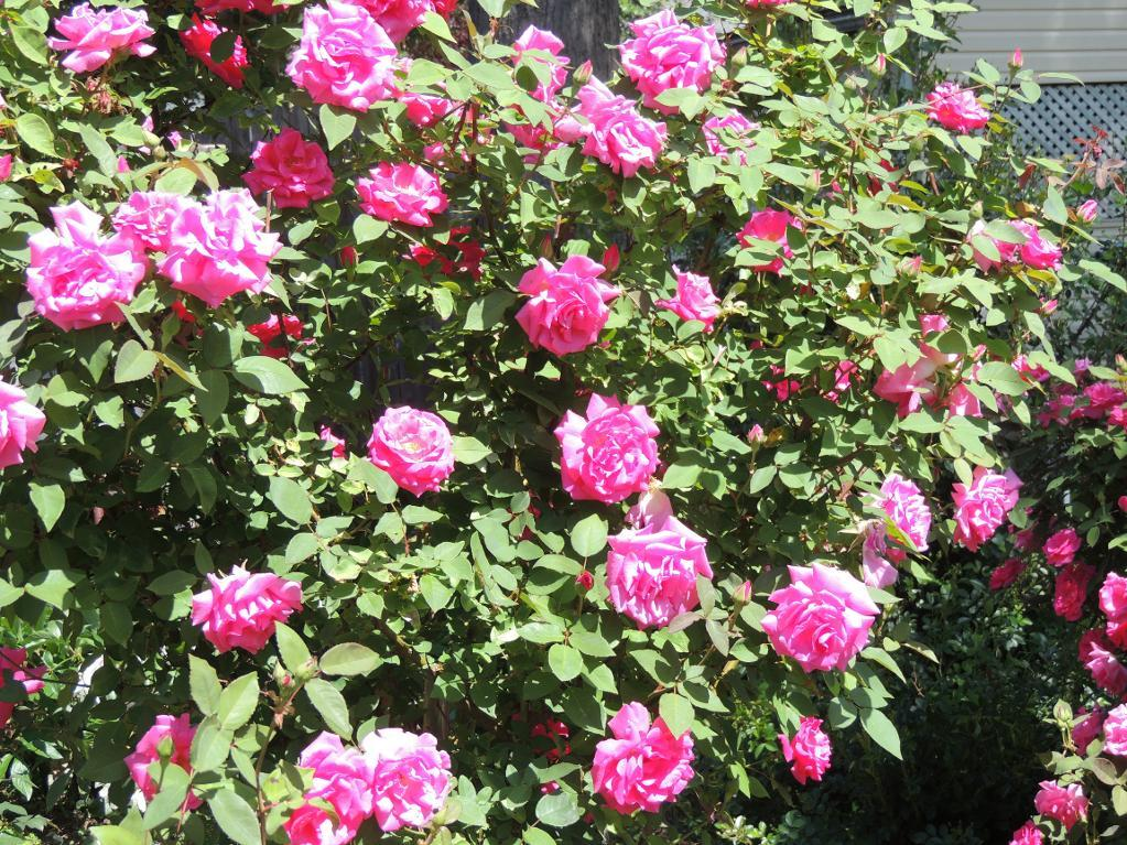 Drawn rose bush shrub Member Common Problems via Rose