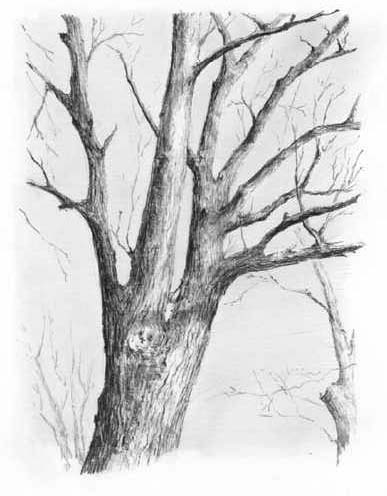 Drawn plant realistic Draw to Pencil Winter Trees