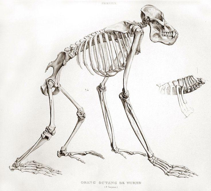 Drawn skeleton monkey Result best of anatomy white