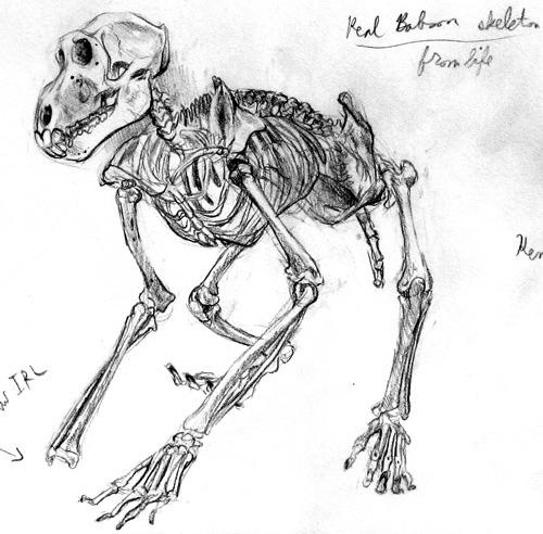 Drawn skeleton monkey A from Baboon skeleton life