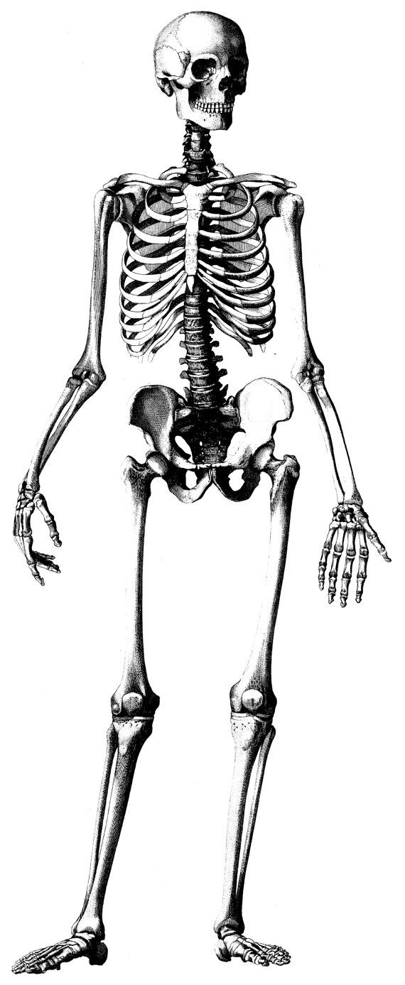 Drawn skeleton old 25+ Skeleton Anatomy  Best