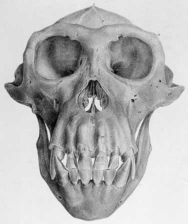 Drawn skeleton primate Human More Skeleton vs gorila