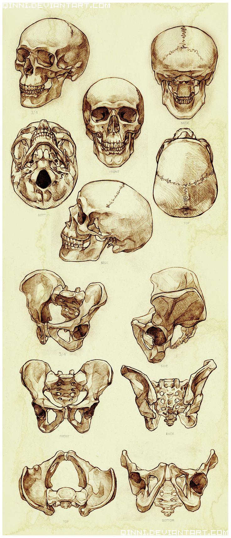 Drawn skeleton reference Study Skull deviantART on and