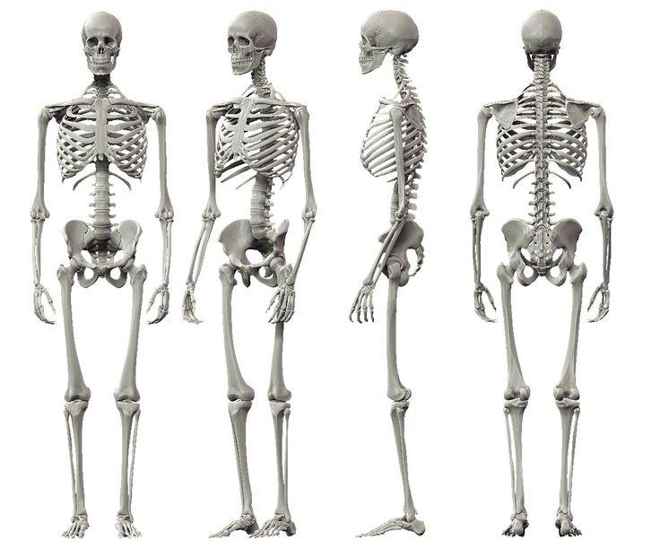 Drawn skeleton reference Profile human Human Body