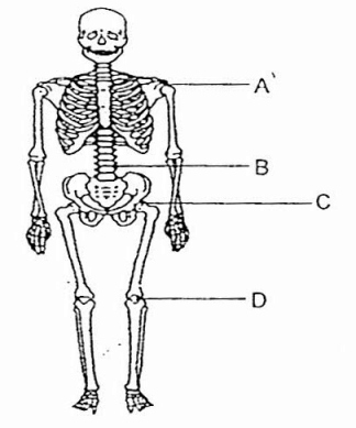 Drawn skeleton system drawing Diagram Image Draw Image Sketch