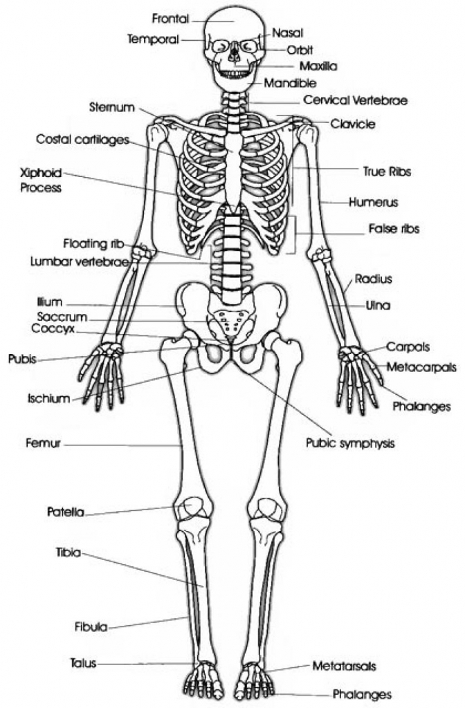 Drawn skeleton system drawing Body Anatomy Human Drawing Human