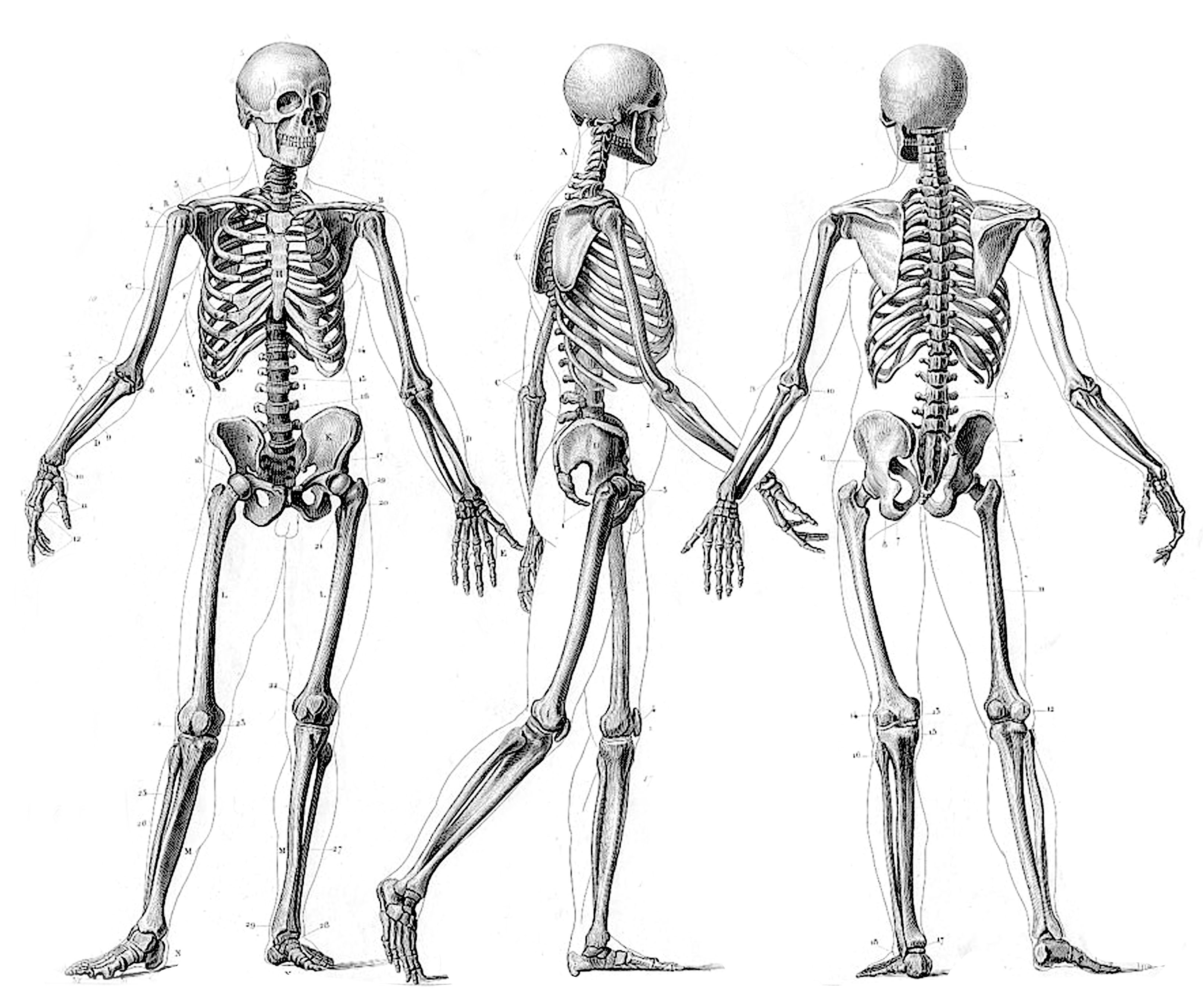 Drawn skeleton reference Angeles Anatomy years reference Los