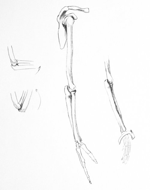 Drawn sleleton arm And right arm arm right