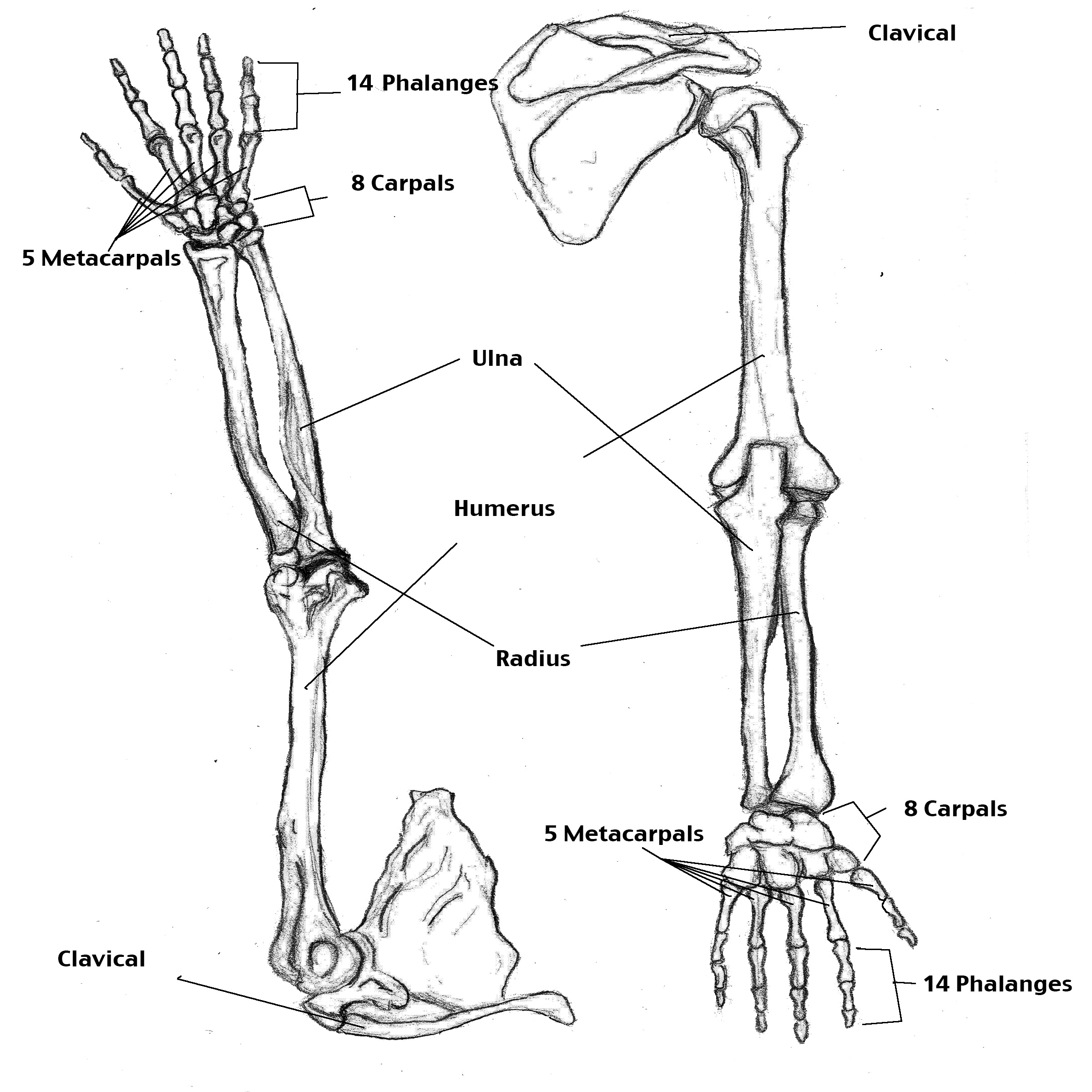 Drawn sleleton arm Art Gallery Clip Skeleton Free