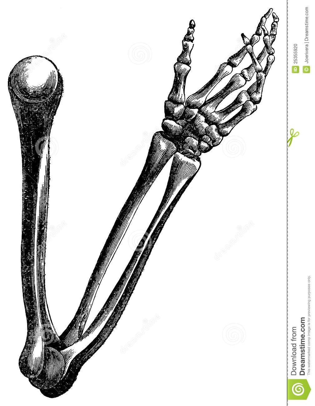 Drawn sleleton arm Arm bones  25355920 engraving
