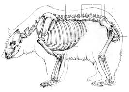 Drawn sleleton bear  diagram skeleton con Cerca