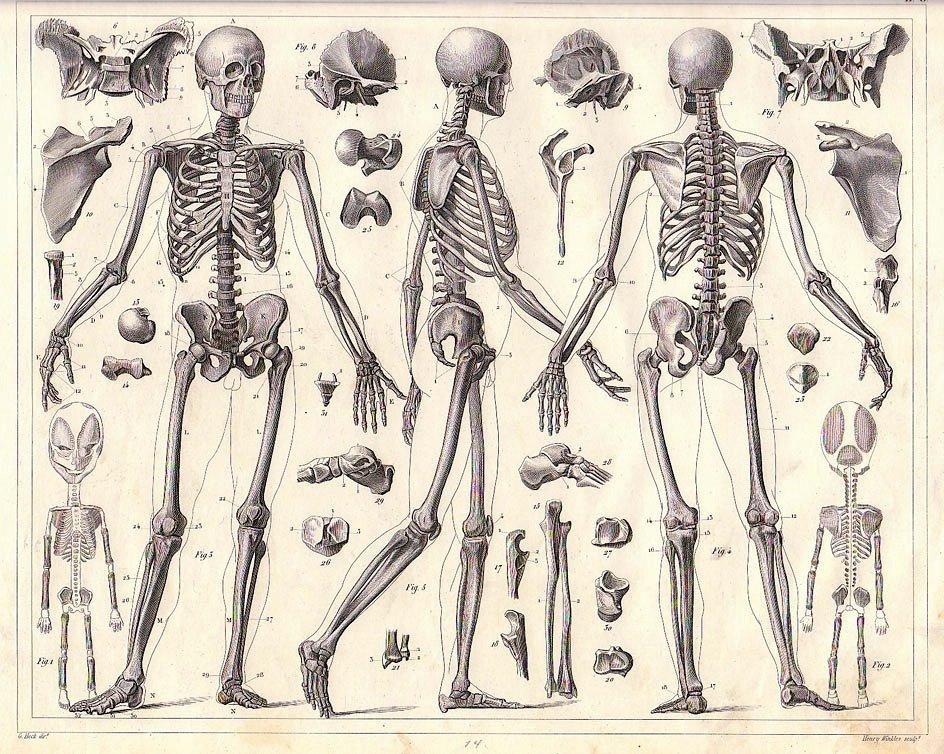 Drawn sleleton bone structure 25+ ideas Find this Aids