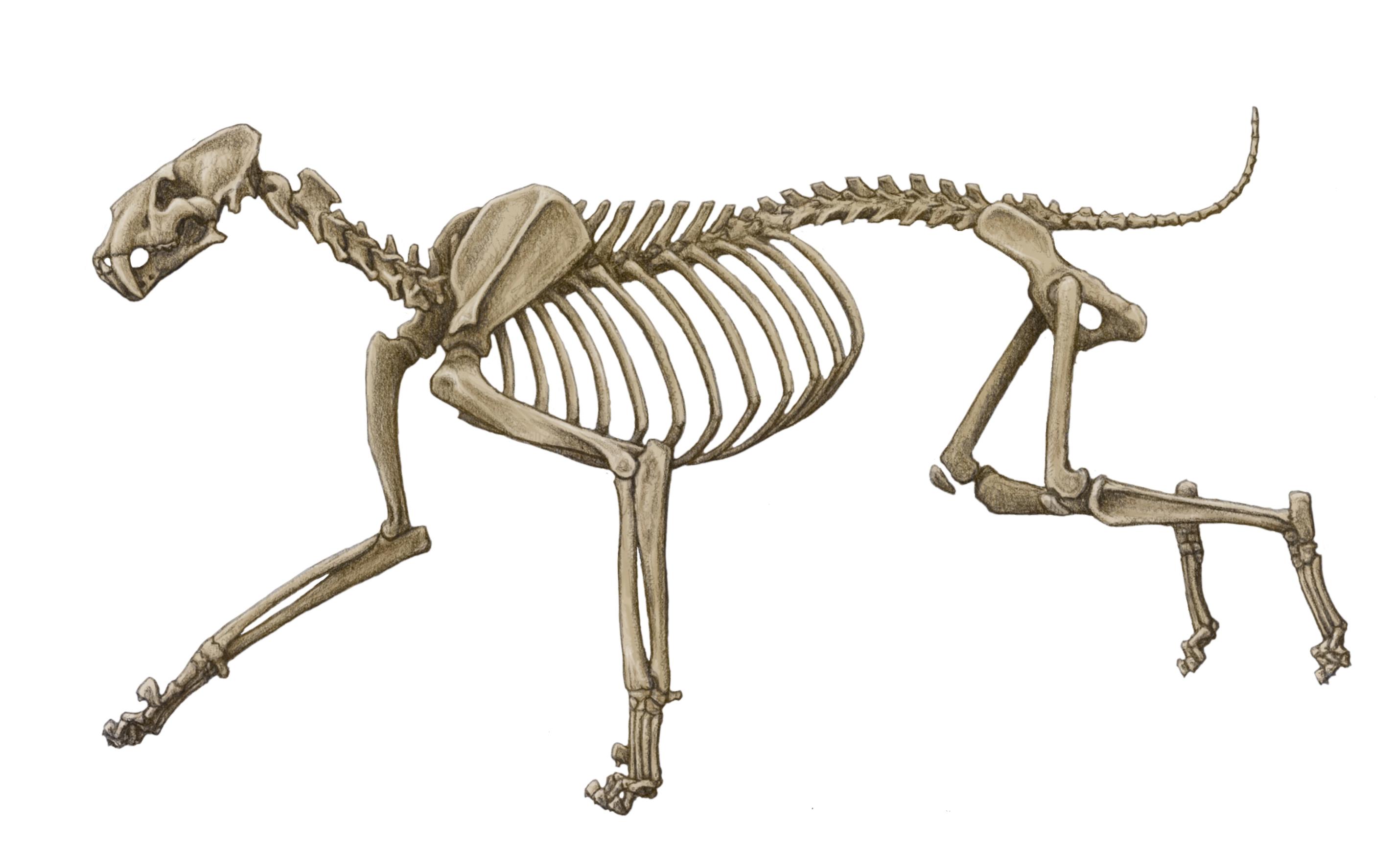 Drawn sleleton cat Sabretooths latidens 3 Homotherium chasing