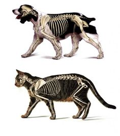 Drawn sleleton cat Harp harp skeletal Canine Google