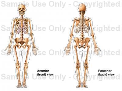 Drawn skeleton female skeleton Anatomy System: System: Skeletal Skeletal