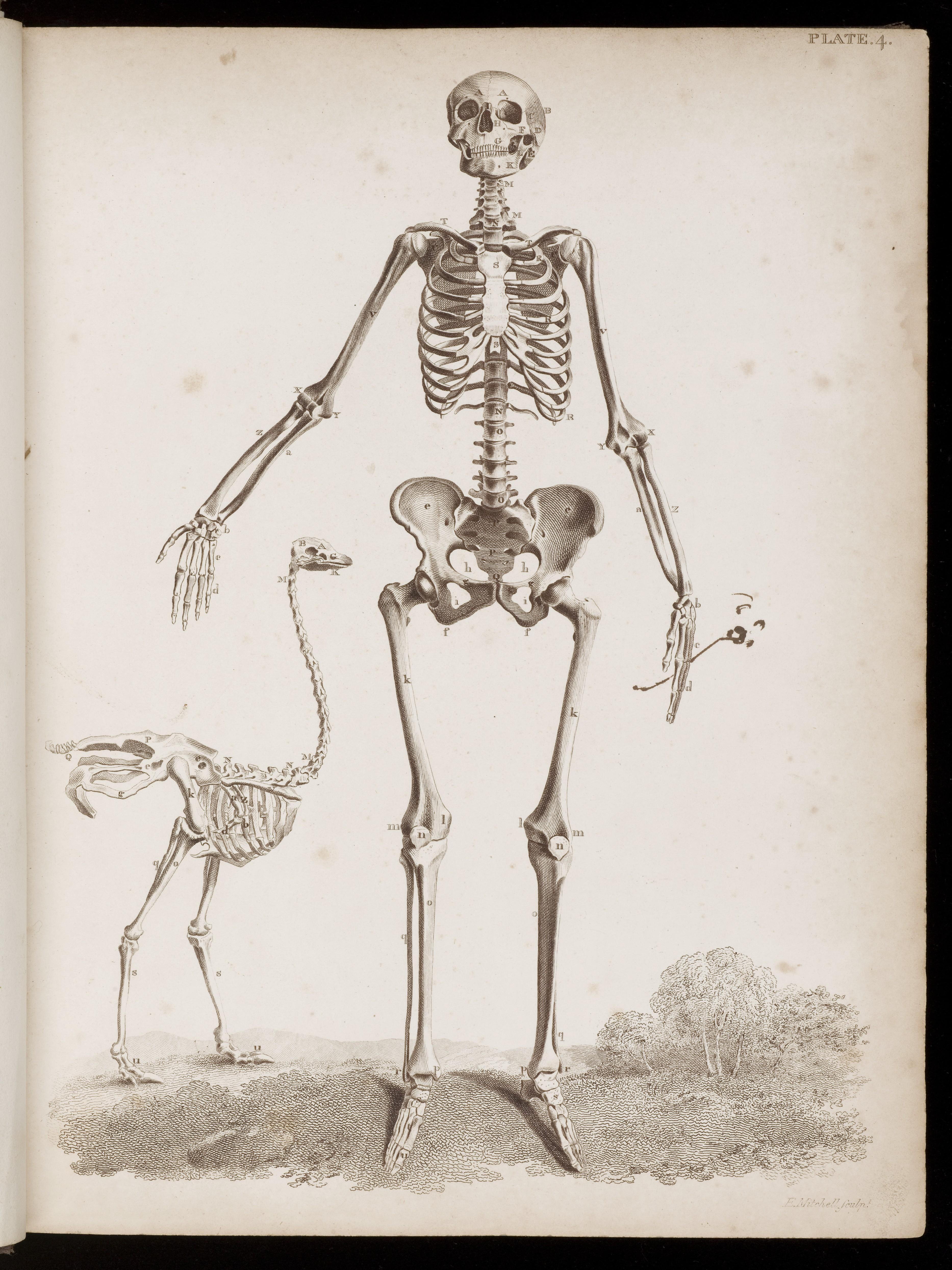 Drawn skeleton female skeleton  with Wellcome Wellcome L0048591