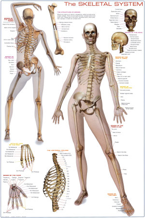 Drawn skeleton female skeleton  Search (paintings Search drawings