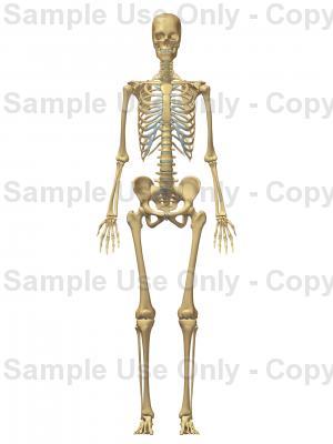 Drawn skeleton female skeleton Anatomy Female Female Anterior Anterior