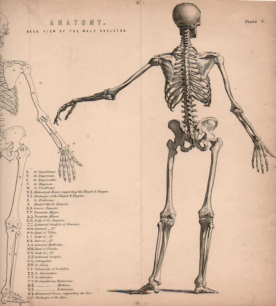 Drawn sleleton figure drawing Skeletons 1874 Bibliographisches for form