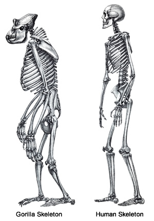 Drawn skeleton primate Skeleton Pinterest Drawing Google Human