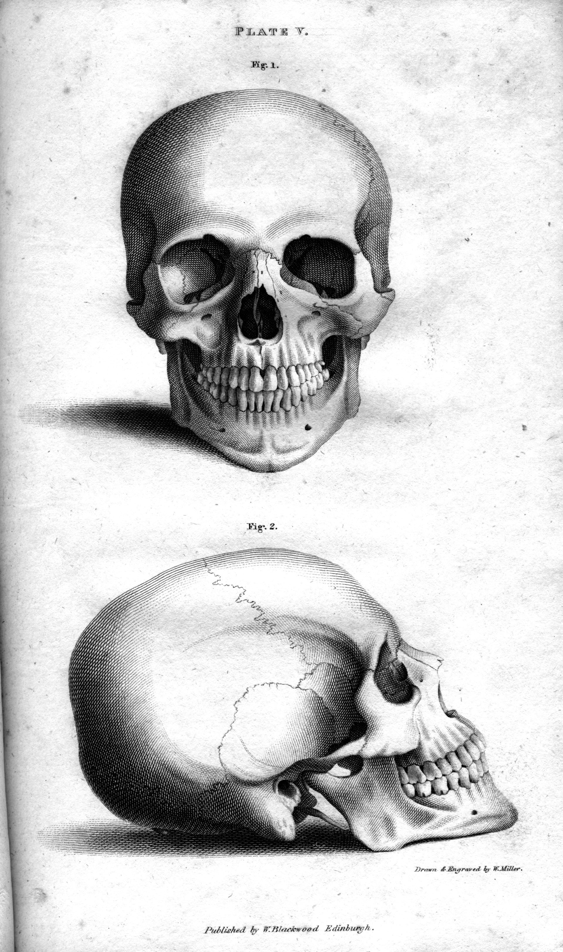 Drawn sleleton head bone Illustrations Meditations Room Archaeology Illustrations