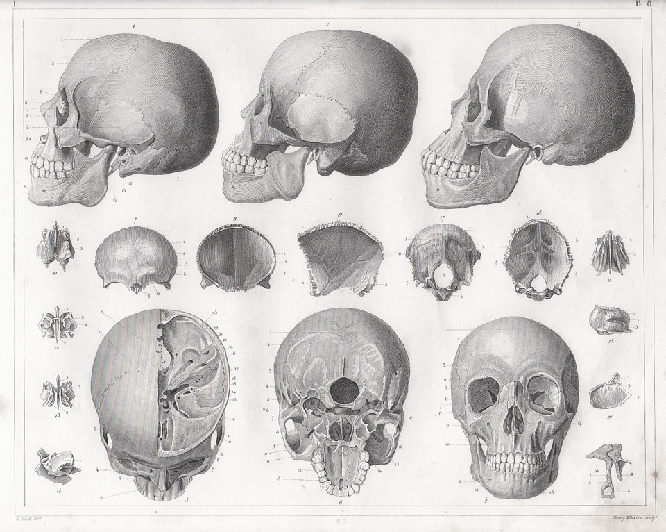Drawn skull structure Heck Muscles Georg and Drawing: