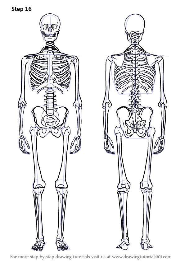 Drawn sleleton neck Objects) Step Learn Skeleton Draw