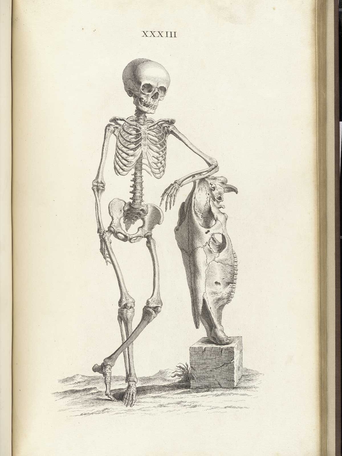 Drawn skeleton old Historical Engraving leaning of the