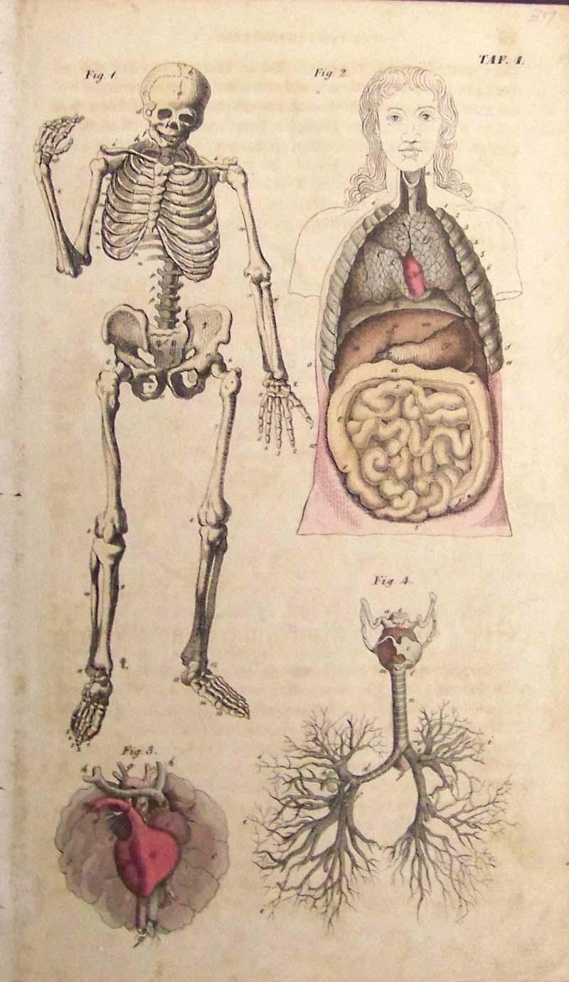 Drawn skeleton old Prints Old Surgical Anatomy Rare