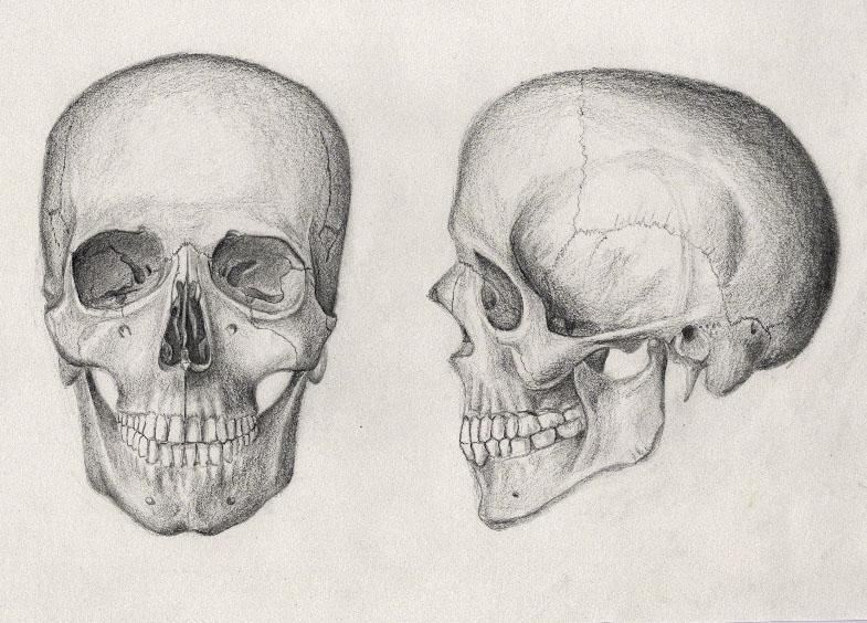 Drawn still life human Pencil Drawing skeleton photo#13 Human