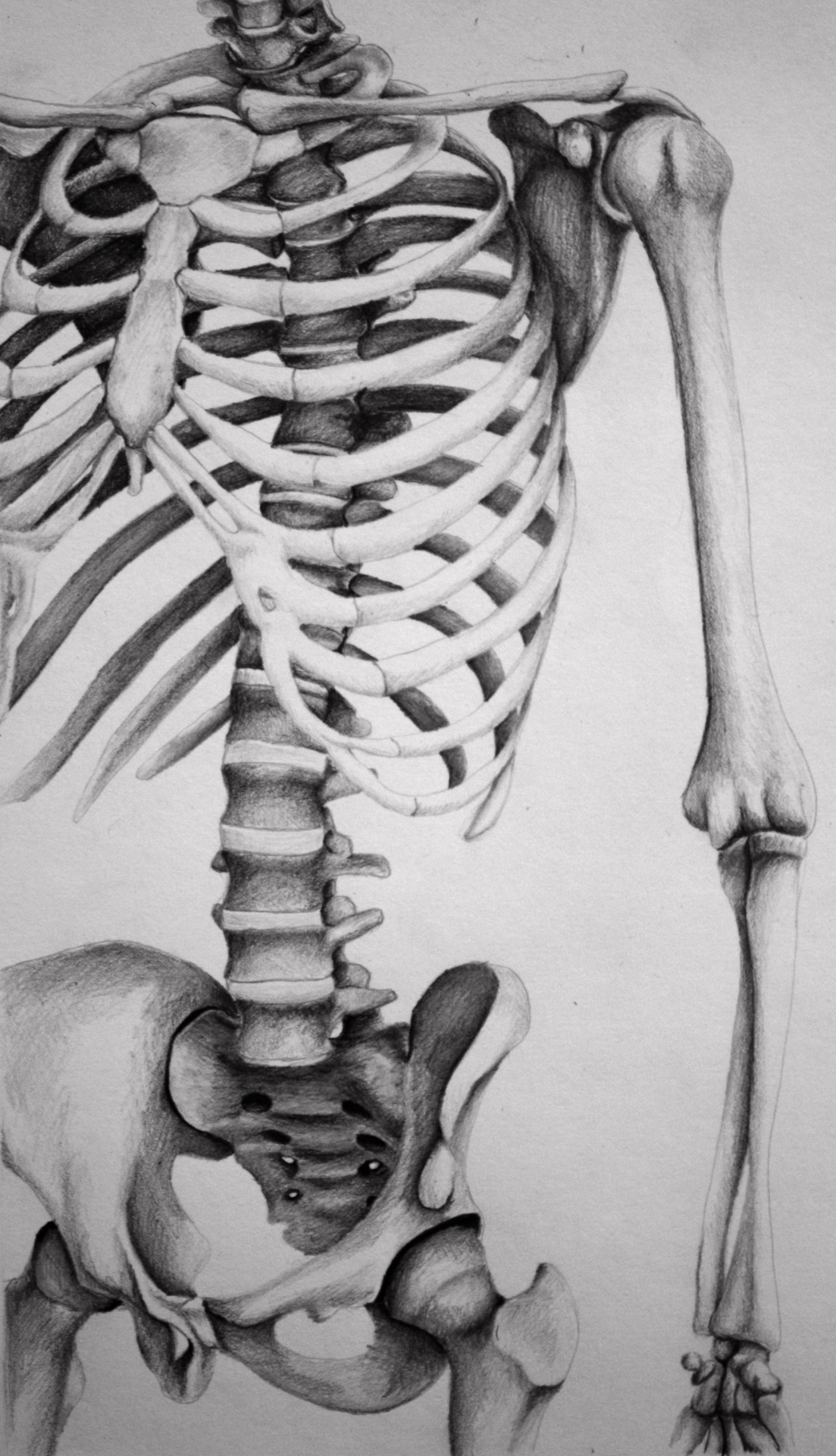 Sleleton clipart pencil work The Skeleton attention unusual compositions
