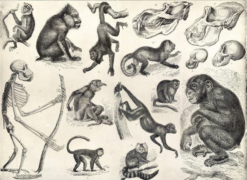 Drawn skeleton primate Night PRIMATES Coaita Capucin Coaita