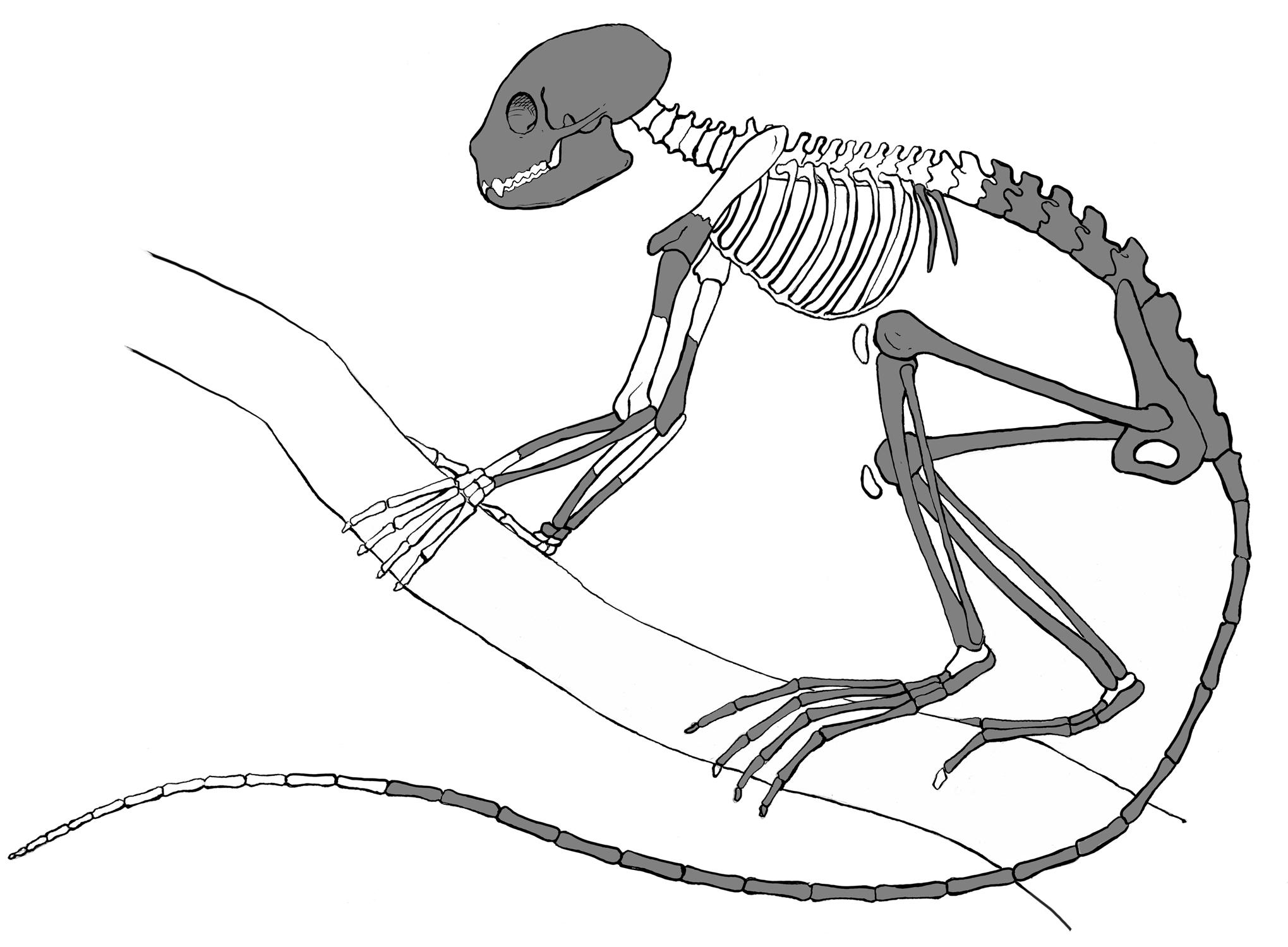 Drawn skeleton primate Skeleton discovered Oldest skeleton discovered