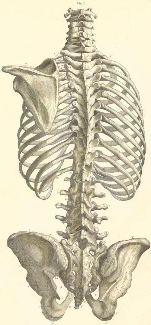 Drawn skeleton real  column drawings Vertebral pelvis