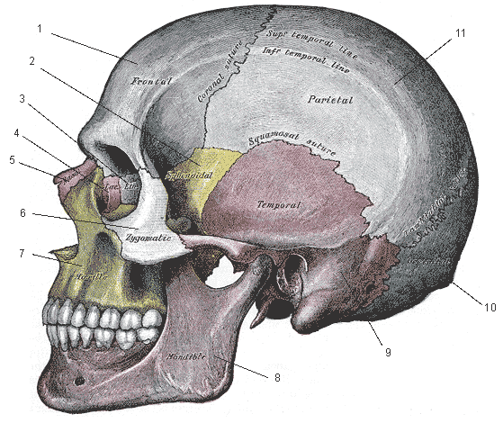 Drawn sleleton side view Skull View Drawn Skull Black