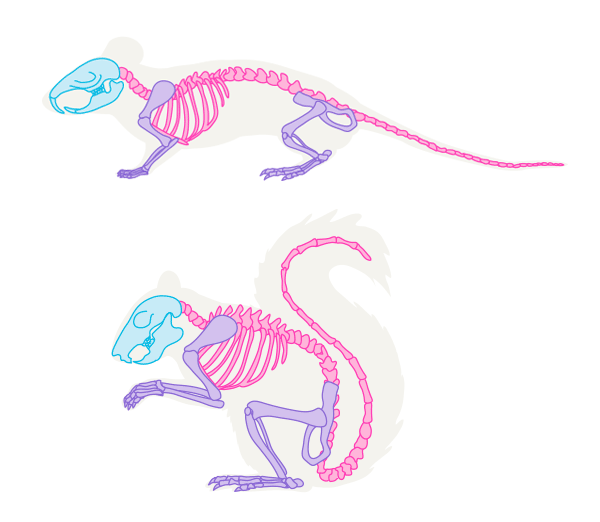 Drawn rodent small Anatomy Animals: Draw mouse to