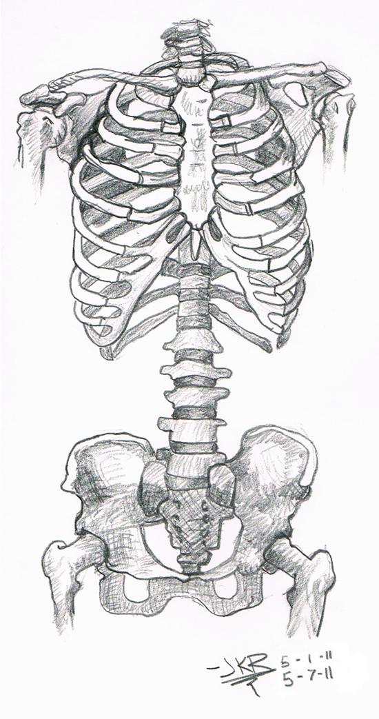 Drawn skeleton torso Torso Study: Skeleton on DeviantArt