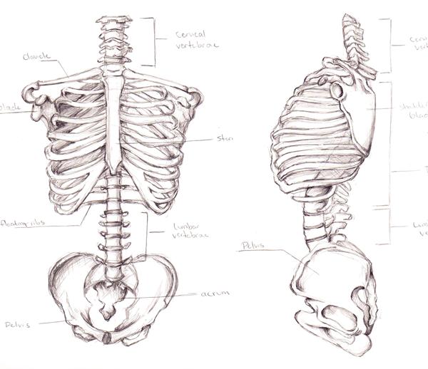 Drawn skeleton torso Sketch by Skeletal Torso Build