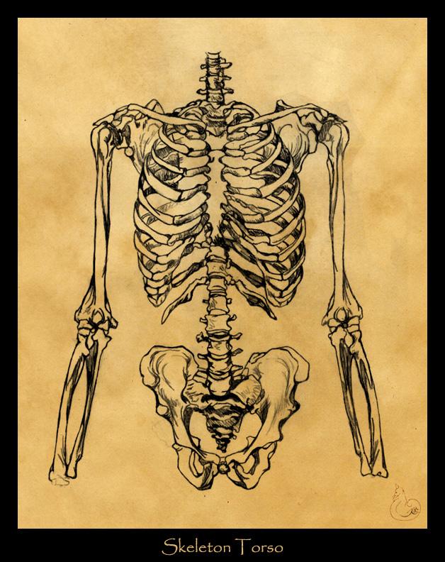 Drawn skeleton torso On Skeleton Study a by