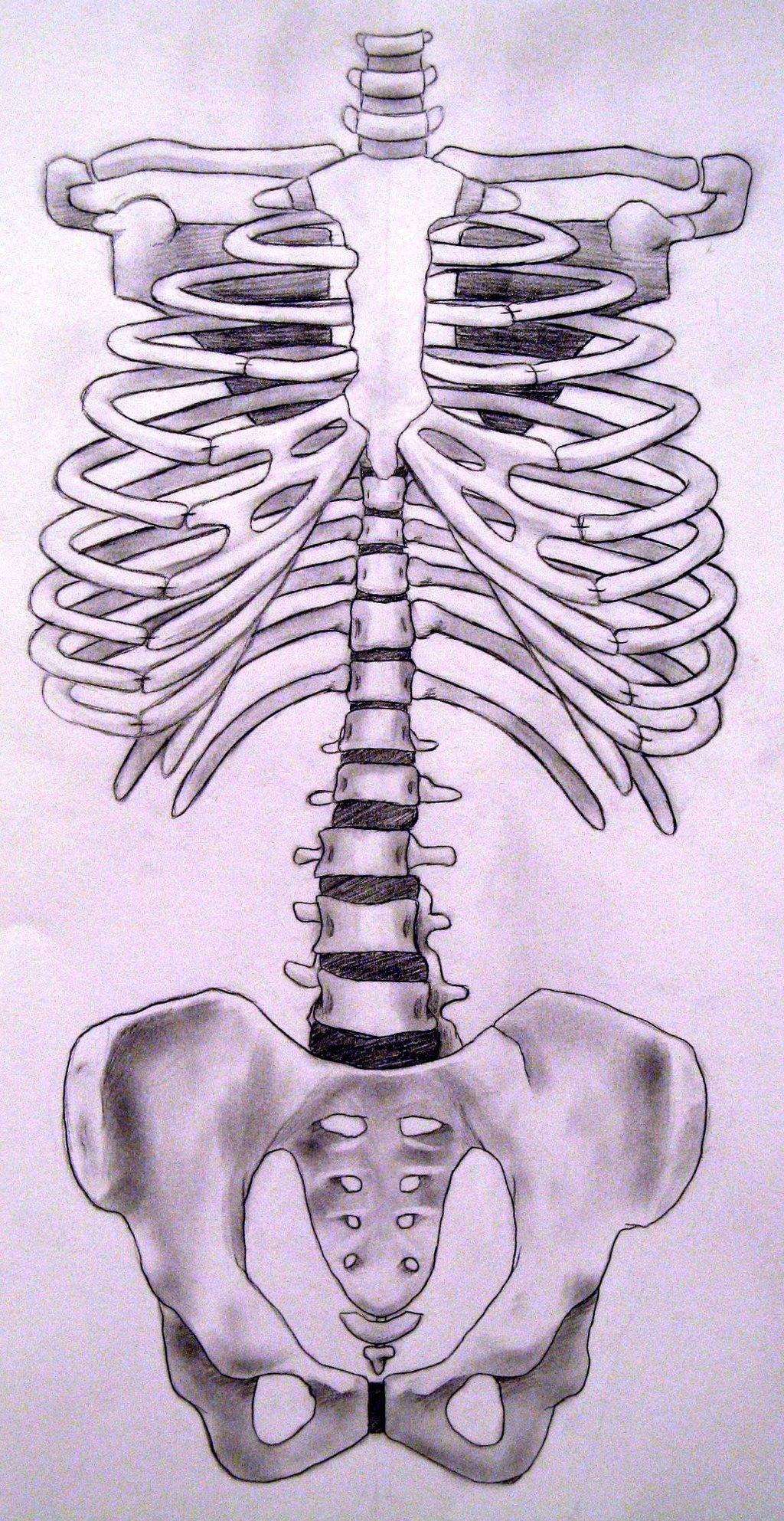Drawn skeleton torso By torso by DeviantArt KatWynn