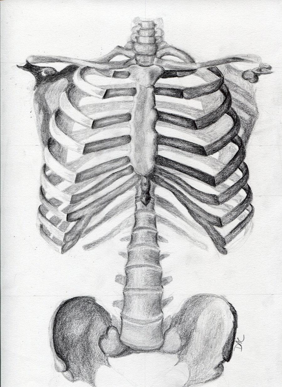Drawn skeleton torso Torso by DeviantArt Torso Skeleton