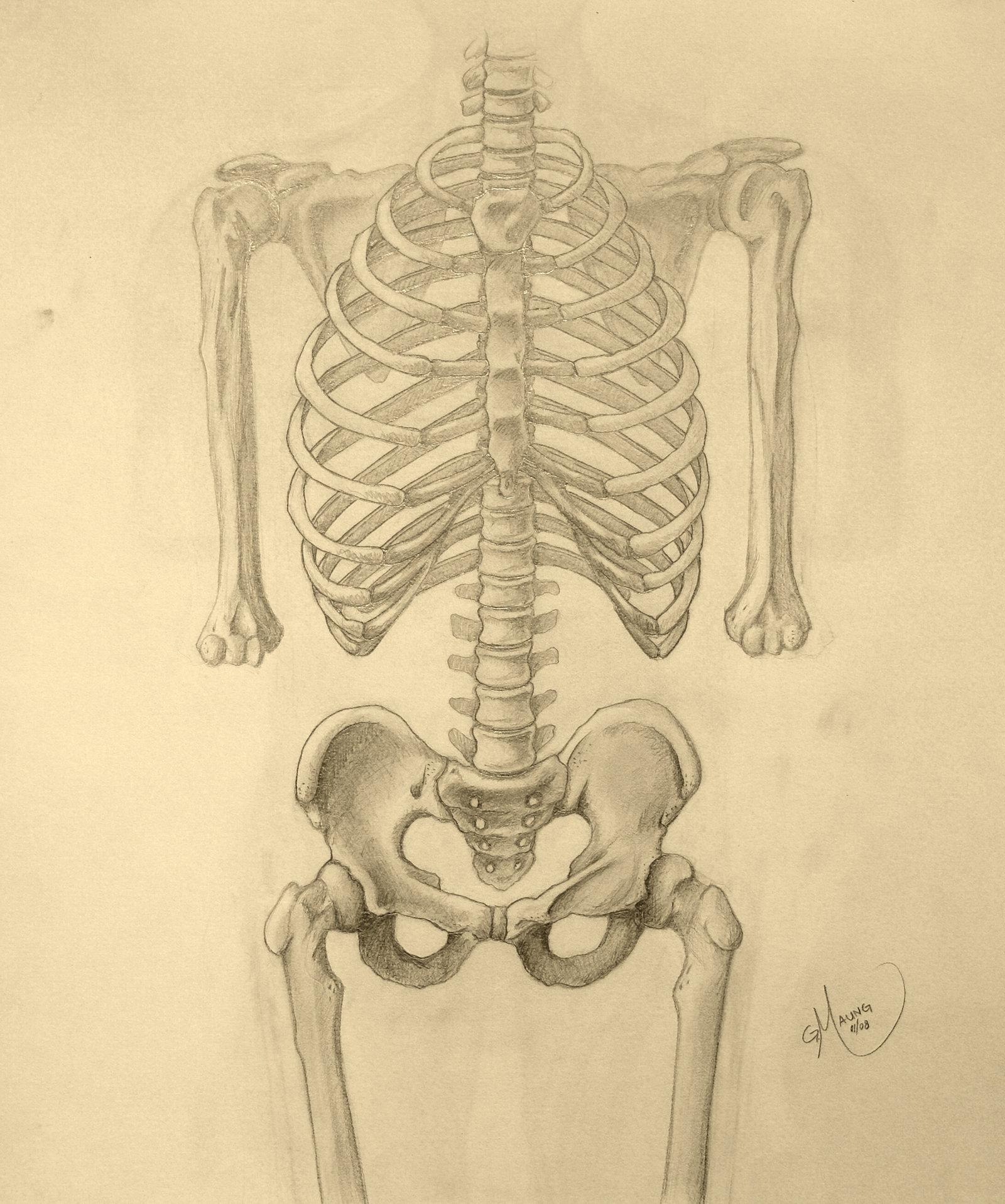 Drawn skeleton torso Pelvis Skeleton and Pelvis Torso