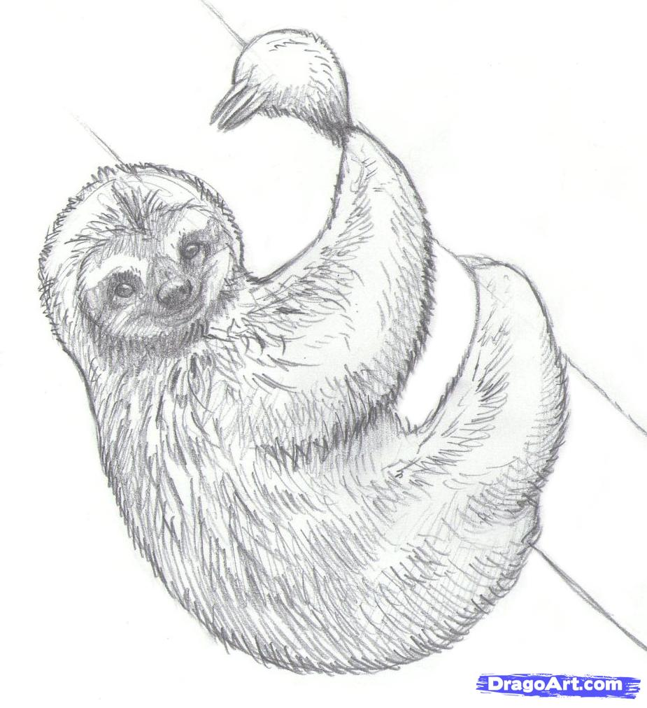 Drawn sloth By sloths to draw
