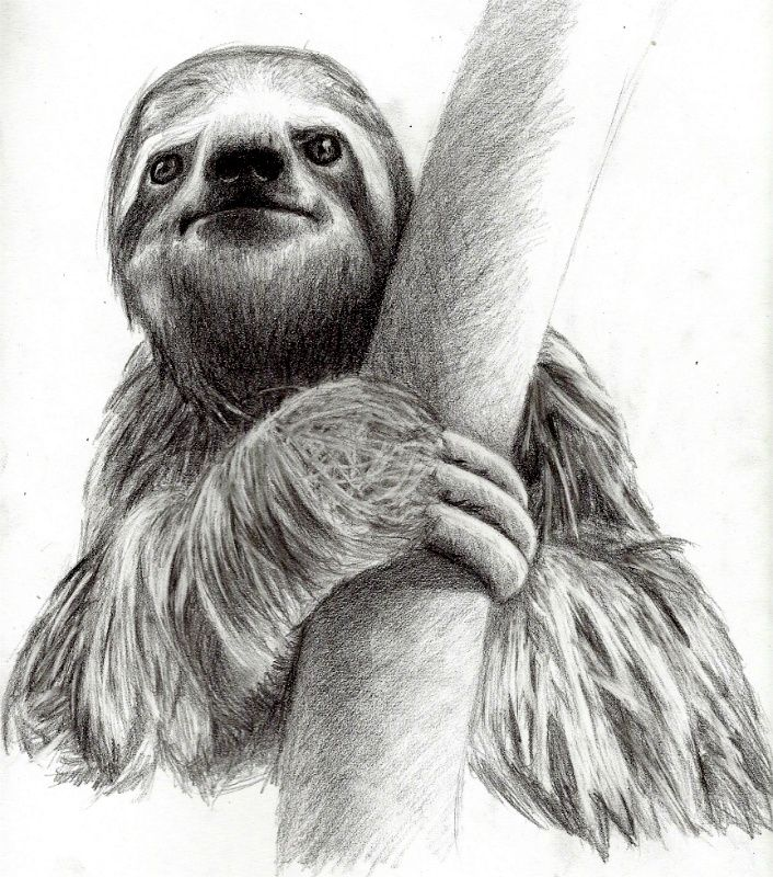 Drawn sloth About and sloths Pin sloths