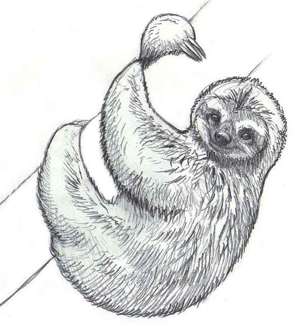 Drawn sloth Page Sloth Drawing of Pinterest