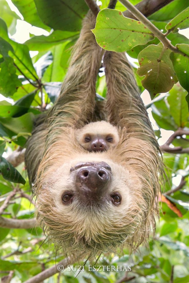 Drawn sloth adorable puppy On Sloths Top best Adorable