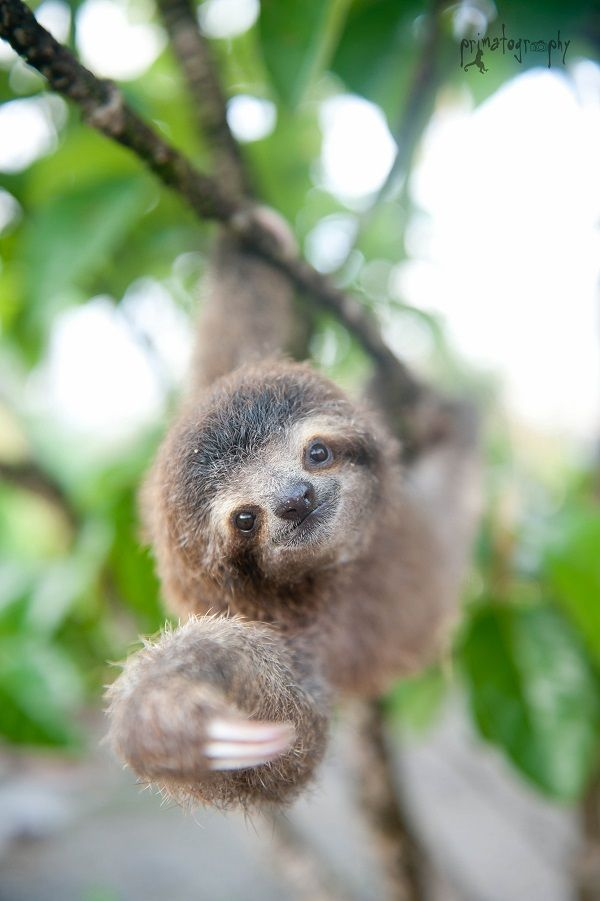 Drawn sloth adorable puppy The best animals of favorite