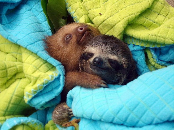 Drawn sloth adorable puppy Pinterest The ideas Pictures sloths