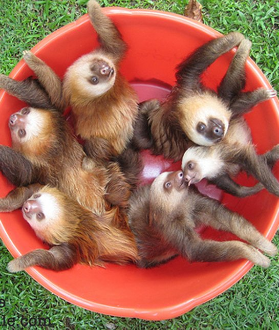Drawn sloth adorable puppy 12 Animals Litters Baby sloths
